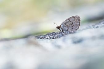 Gewone dauwerebia - Dewy ringlet(Erebia pandrose)