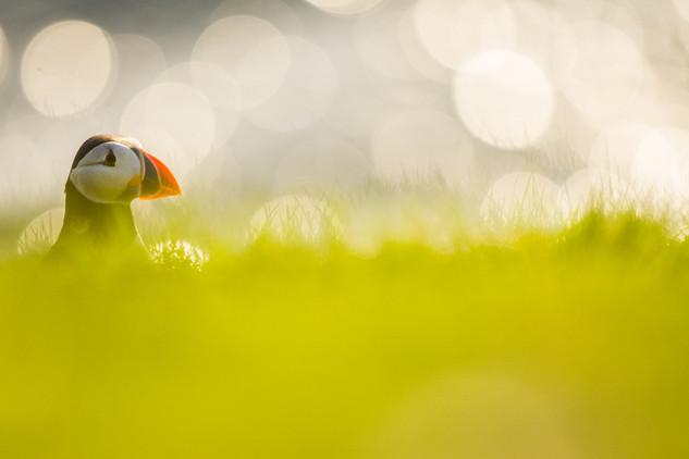 Papegaaiduiker zonsondergang