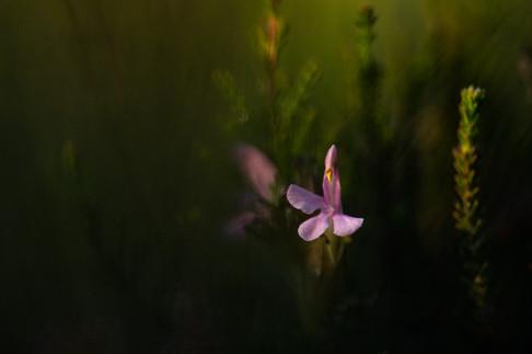 Heidekartelblad - Common lousewort (Pedicularis sylvatica)