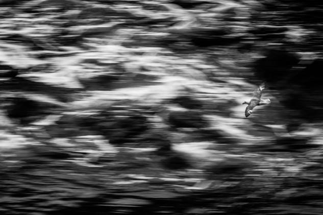 Noordse stormvogel I