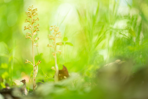 Vogelnestje - Bird's-nest orchid (Neottia nidus-avis)