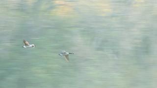 Vliegende canadese ganzen