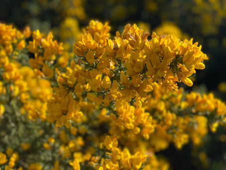 From Flower to Refreshing Drink: A step-by-step guide on how to make Gorse Cordial