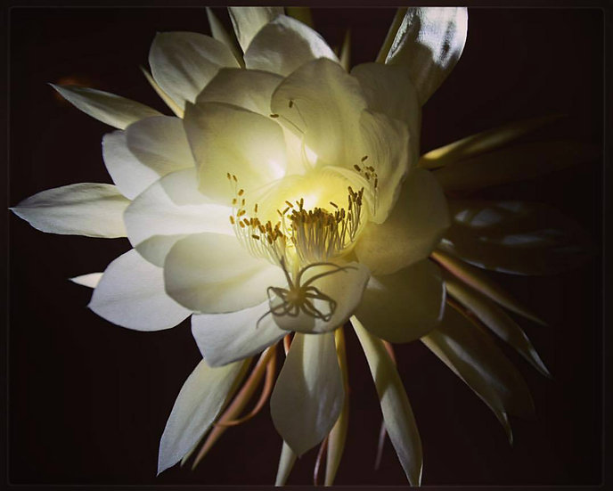 Fine Art Print: Night Blooming Cactus