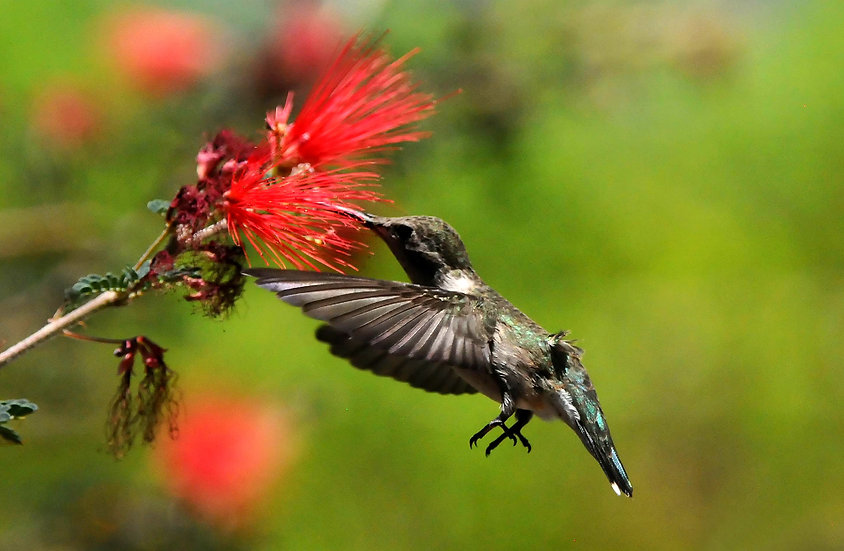 Fine Art Print: Black-chinned Hummingbird