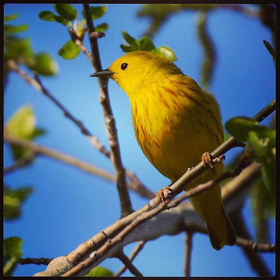 Fine Art Print: Yellow Warbler