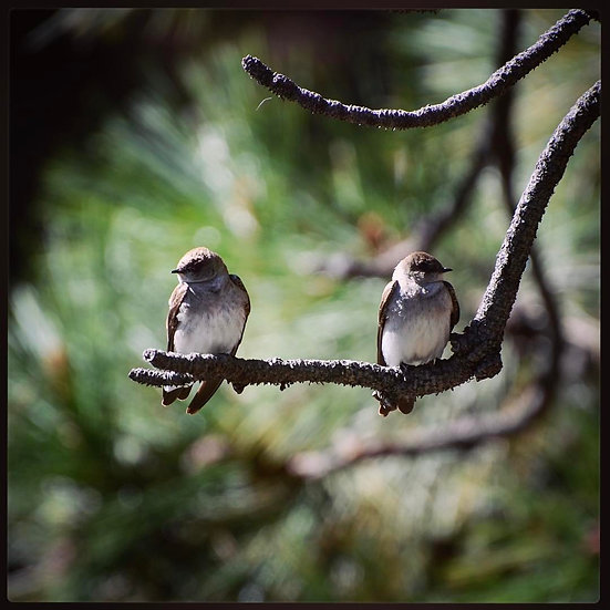 Fine Art Print: Pair of Northern Rough Wing Swallows