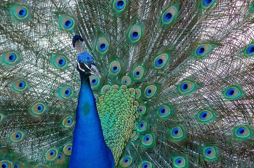 Fine Art Print: Mr. Peacock