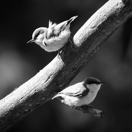Fine Art Print: Pygmy Nuthatches