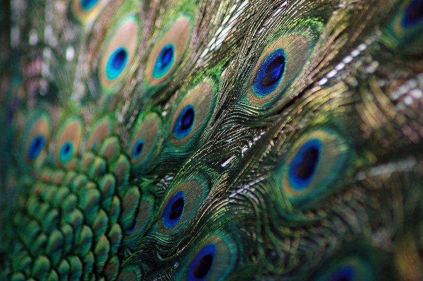 Fine Art Print: Peacock Tail