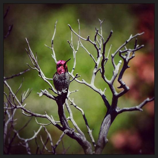Fine Art Print: Annas Hummingbird