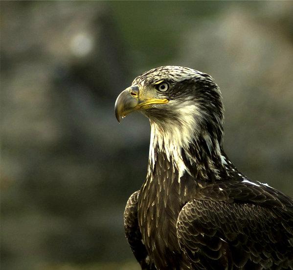 Fine Art Print: Immature Bald Eagle