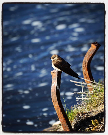 Fine Art Print: Rough Wing Swallow