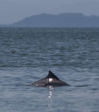 golfinho-com-a-serra.jpg