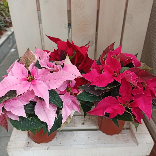 Variedades más pequeñas flor de pascua