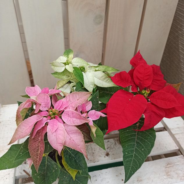 Variedades minis Flor de Pascua (5cm)