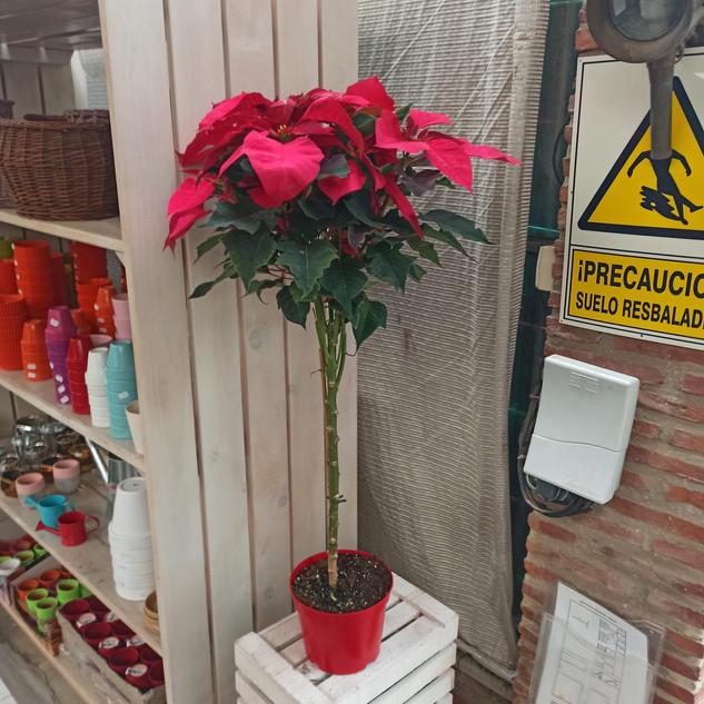 Poincettia (Flor de Pascua)