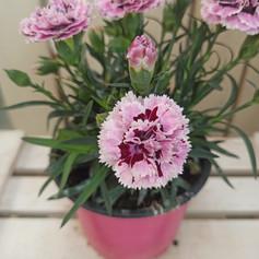 Dianthus Carnelia (Clavelino)