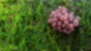 Purple Jellydisc - Ascocoryne sp..jpg