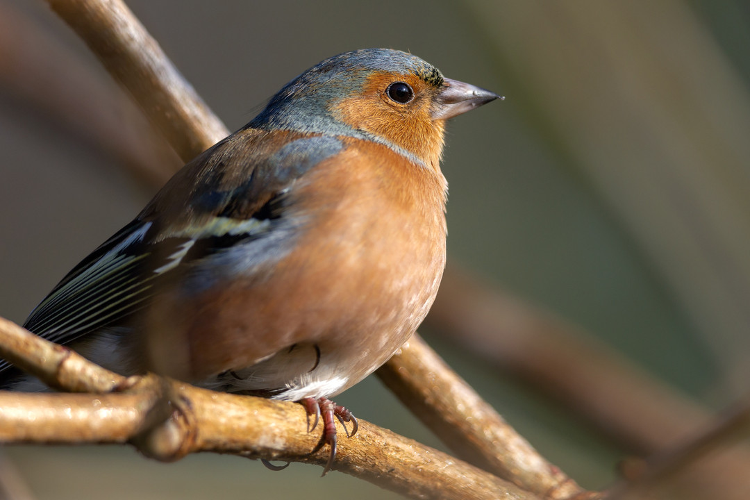 Male Chaffinch - Fringilla coelebs