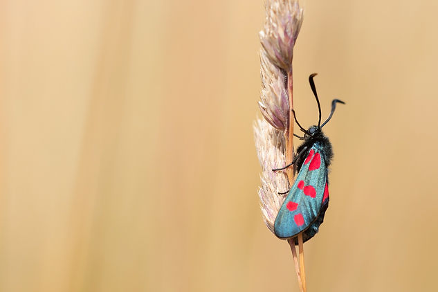 Six-Spot Burnet - Zygaena filipendulae.j