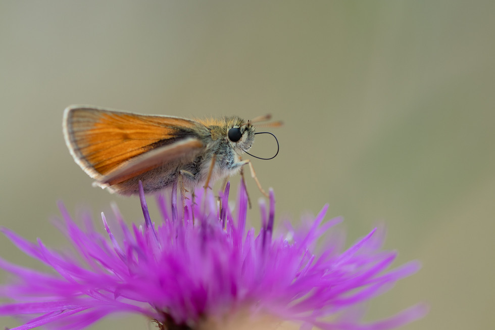 Small Skipper - Thymelicus sylvestris