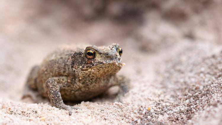 Common Toad - Bufo bufo.jpg