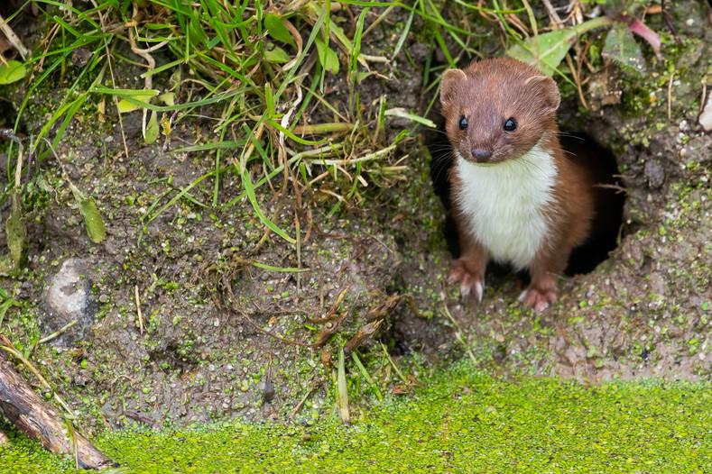 Weasel - Mustela nivalis