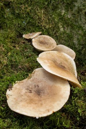 Milkcap - Lactarius sp.