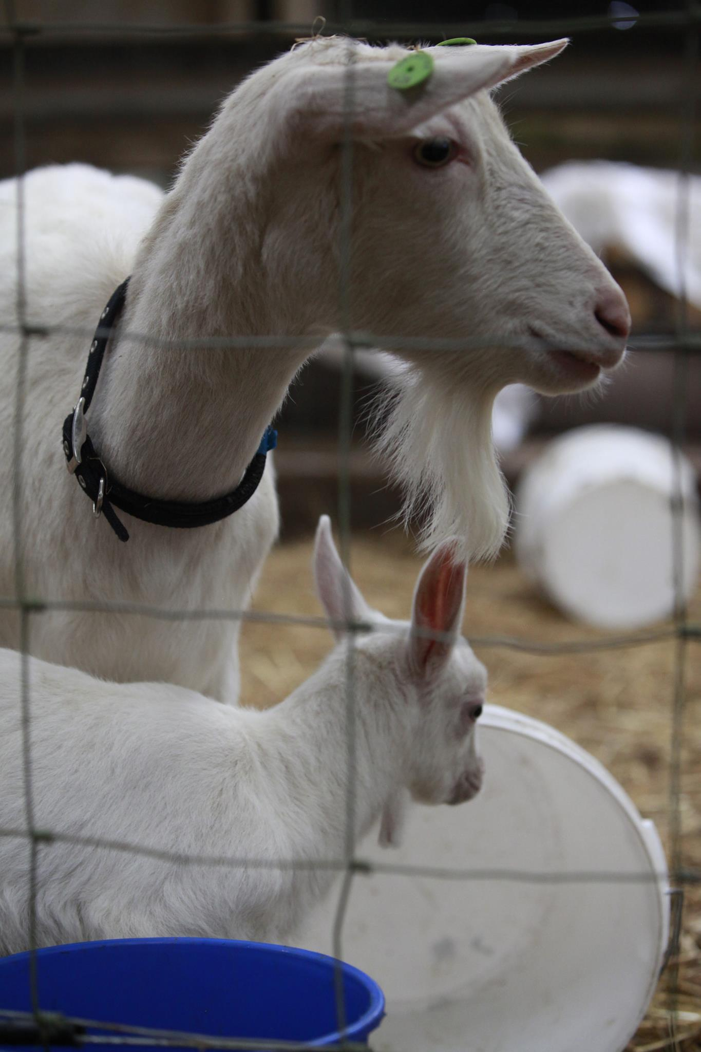 Our goats