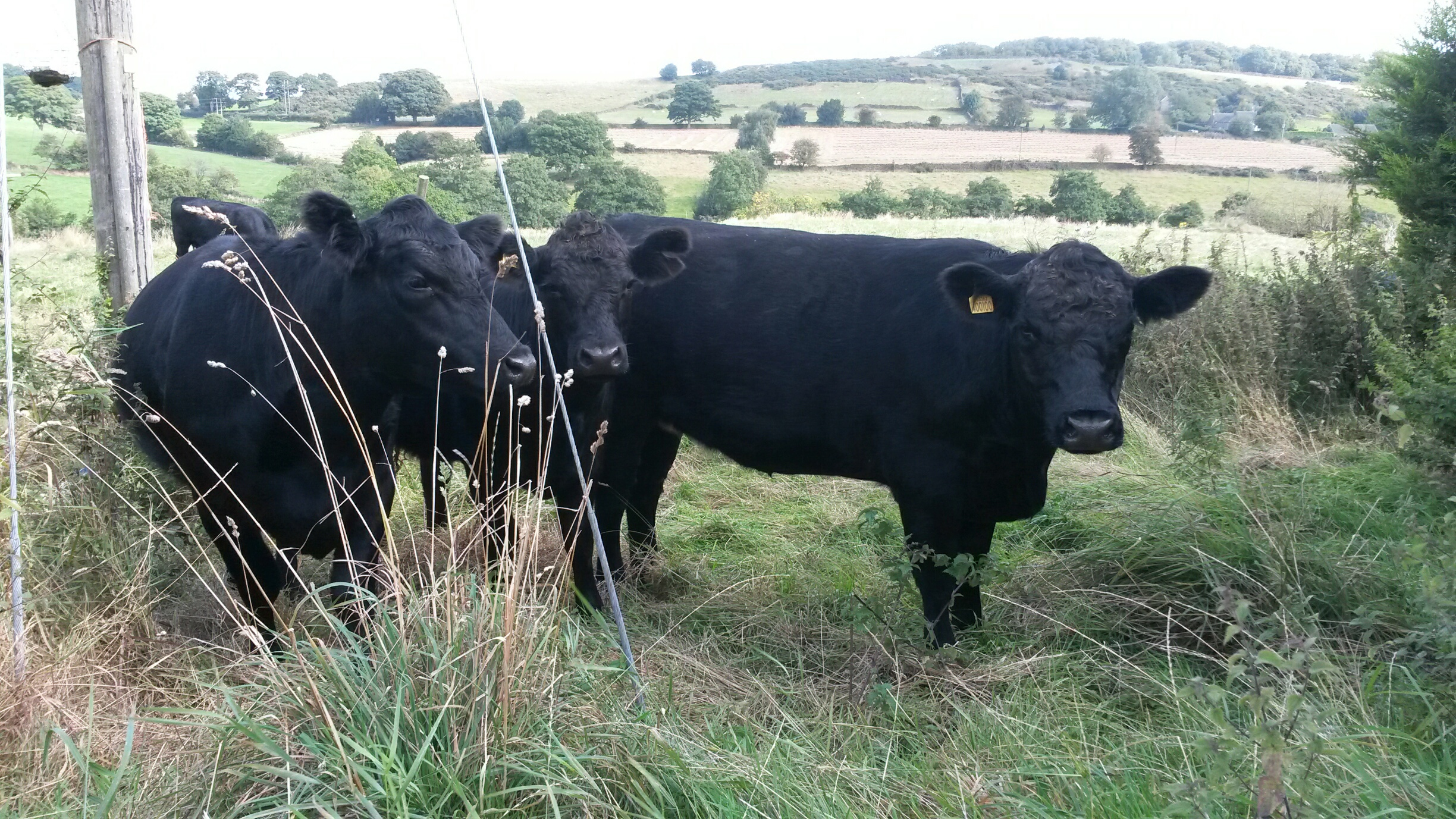 Our Aberdeen Angus X