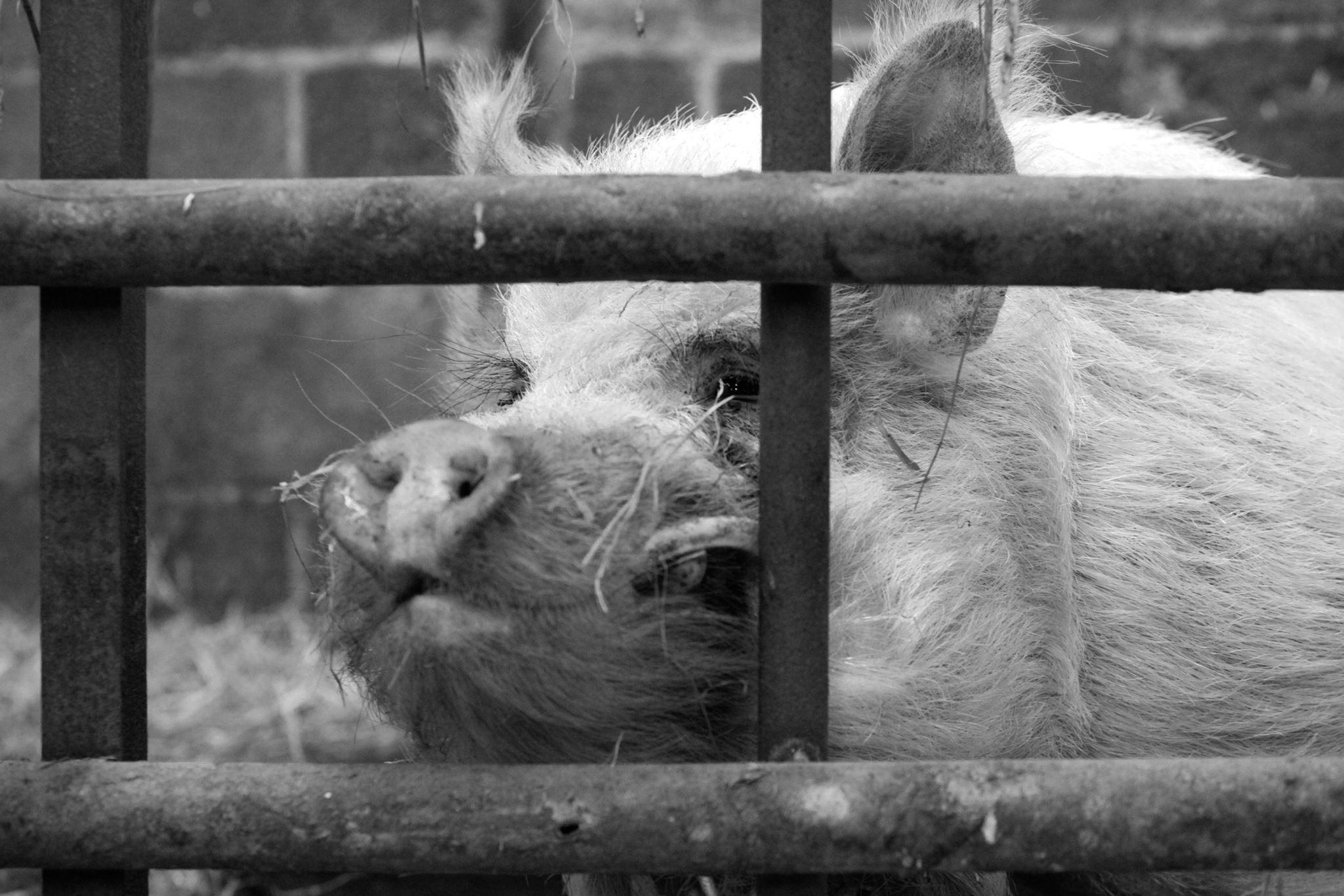 Po the pig