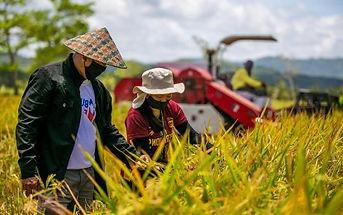 high-bred-rice-caraga.jpg