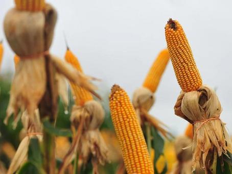 Governo suspende PIS e Cofins na importação de milho