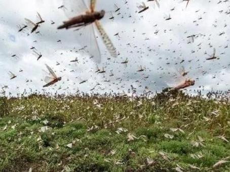 Secretaria da Agricultura do RS monitora nova nuvem de gafanhotos
