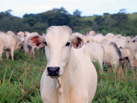 Vaca louca: como a suspensão das exportações à China poderia impactar a economia brasileira
