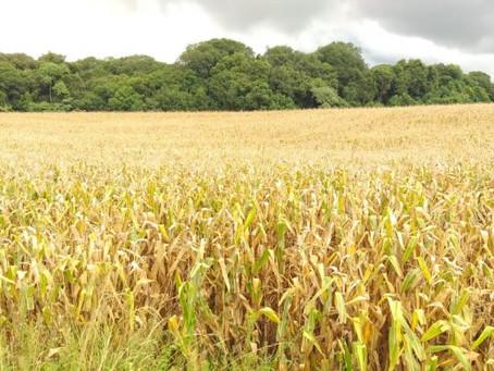 Mais da metade do milho já está colhido no RS