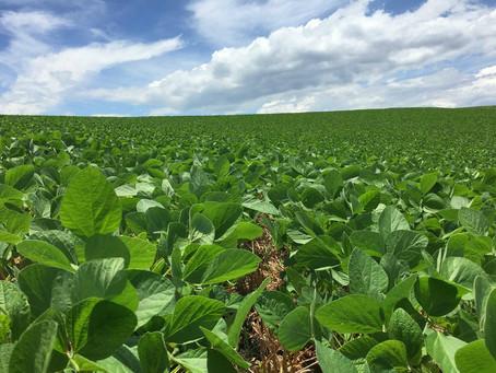 Plantio da soja avança a 61% da área prevista para o Rio Grande do Sul