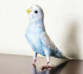 One-Legged Parakeet Gives Abused Children Lesson in Hope