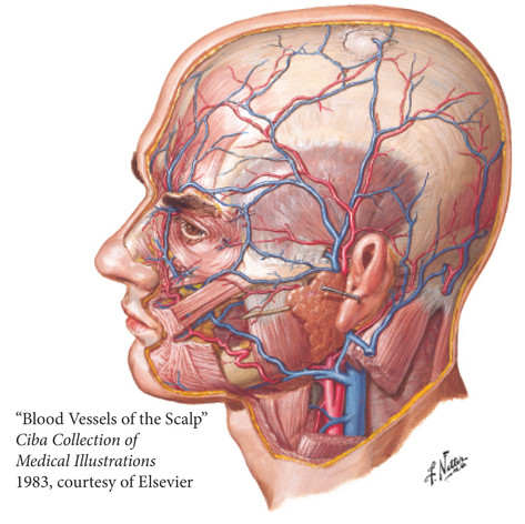 Blood Vessels of the Scalp