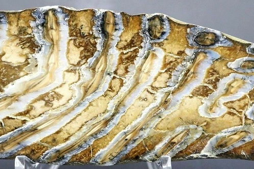 Fossilized Woolly Mammoth Tooth Fossil Specimen