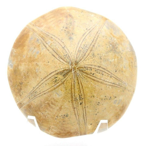 Fossilized Sand Dollar Polished Specimen From Madagascar with Stand