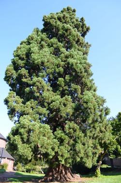 geluksplek-3-Mammutbaum-1-682x1030