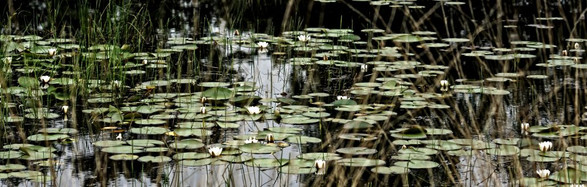 waterlelies_00326_2-1030x328.jpg
