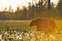 Brown bear walking in blossoming grass i