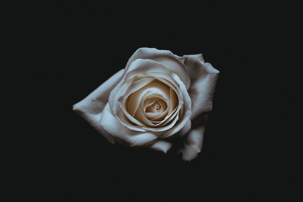 White rose in the dark background