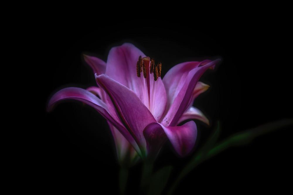 Pink Flower in Dark Background