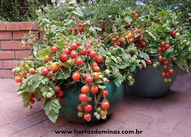 Excepcional Como plantar tomates cereja em vasos | Hortas de Minas | Naturais  QJ36