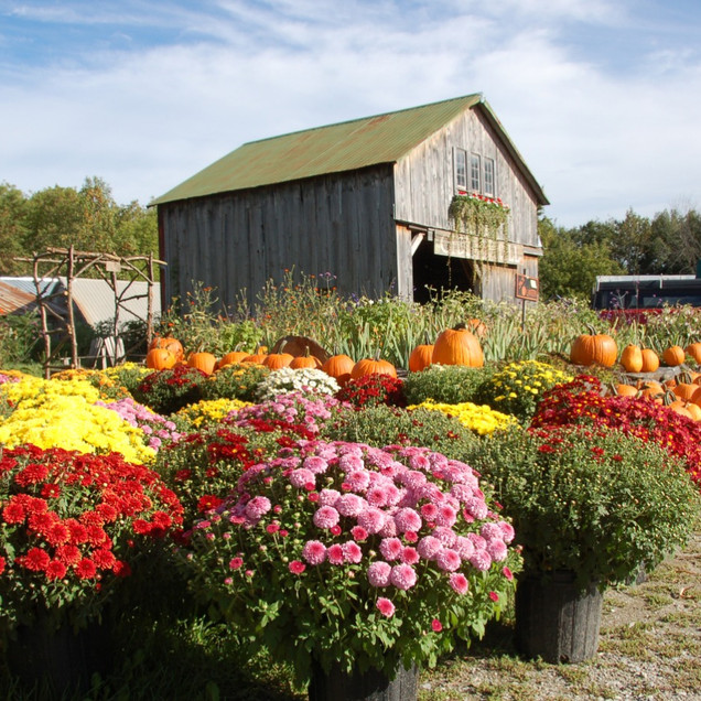 Mums from Beaver Meadow Greenhouse
