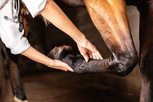Veterinarian examining horse leg tendons